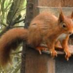 A Red Squirrel at Lockerbie